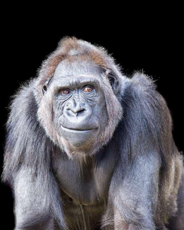 smirking gorilla monkey animals animal primates laughing happy funny animais getty animales msn smiling felices chimpanzee sitejabber question smile chimp